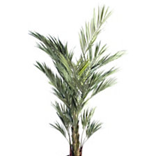Kentia Royal hauteur 180 cm