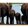 Eléphants, Kenya, Philippe BOURSEILLER, affiche 24x30 cm