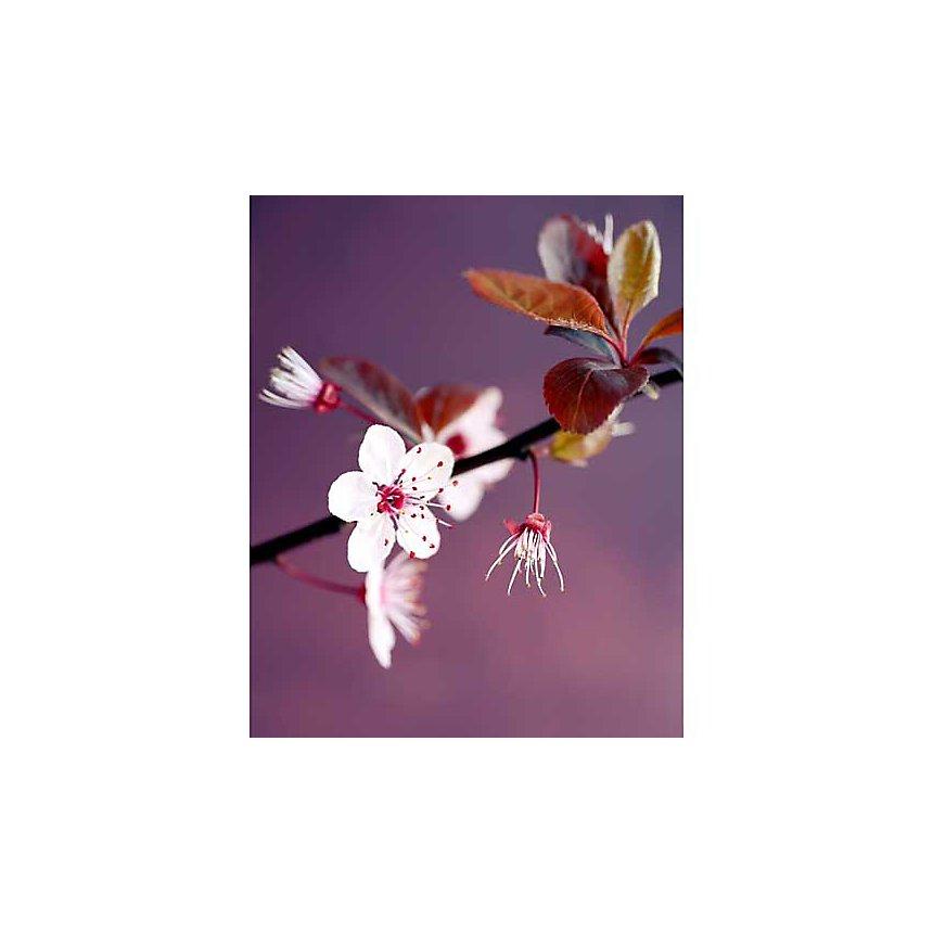 Branche de pommier, Amélie VUILLON, affiche 40x50 cm