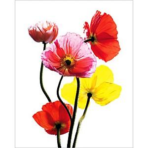 Les pavots multicolores, Cédric PORCHEZ, affiche 40x50 cm