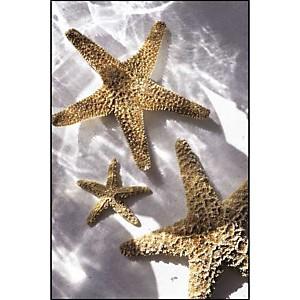 Trois étoiles de mer, Anonyme, affiche 30x40 cm