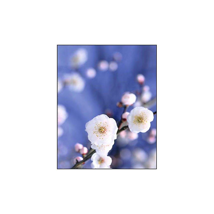 Cerisier en fleur, Japon, Japan , PBY, affiche 40x50 cm