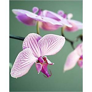 Orchidée rose, Amélie VUILLON, affiche 40x50 cm