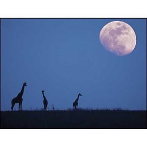 Girafes au clair de lune, Anonyme, affiche 30x40 cm