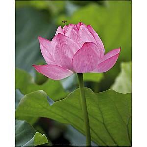 Lotus rose, B. TANAKA, affiche 24x30 cm