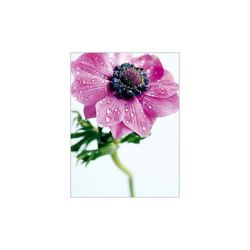 Anémone rose, Amélie VUILLON, affiche 30x40 cm