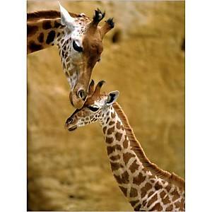 Girafe et girafon, BONNEUA, affiche 30x40 cm