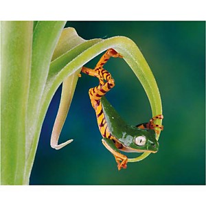 L'acrobate, Gail SHUMWAY, affiche 24x30 cm