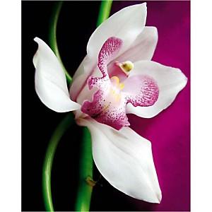Orchidée, Amélie VUILLON, affiche 40x50 cm