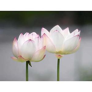 Fleurs de lotus , Shin TERADA, affiche 30x40 cm