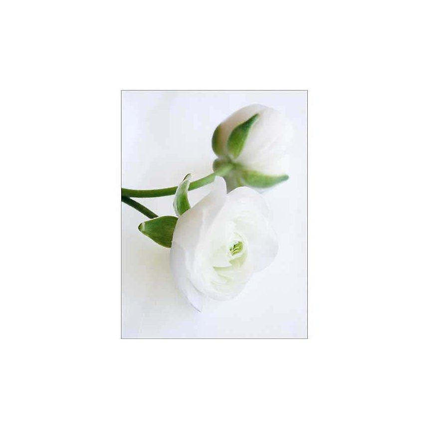 Renoncules blanches, Amélie VUILLON, affiche 30x40 cm