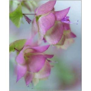 Fleurs d'origan, Don PAULSON, affiche 40x50 cm