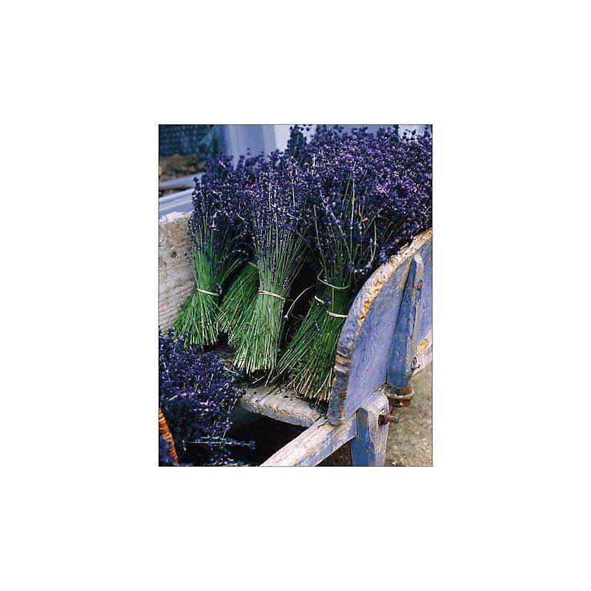 Récolte de lavande, Gunter ROSSENBACH, affiche 24x30 cm