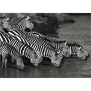 Troupeau de zèbres, Florence ROUQUETTE, Jean-Michel LABAT, affiche 50x70 cm