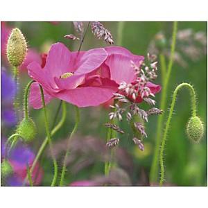 Coquelicots roses, Steve SATUSHEK, affiche 40x50 cm