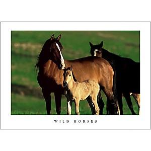 Mustangs sauvages, Pryor Mountain Wild Horse Range, Montana,John EASTCOTT, affiche 50x70 cm