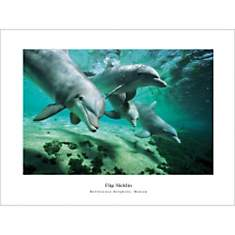 Grands dauphins, Hawaï, NICKLIN, affiche...