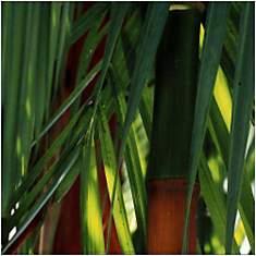 Bambous, Costa Rica / Bamboos, Costa Ric...
